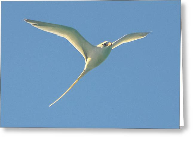 Bermuda Longtail In Flight Greeting Card