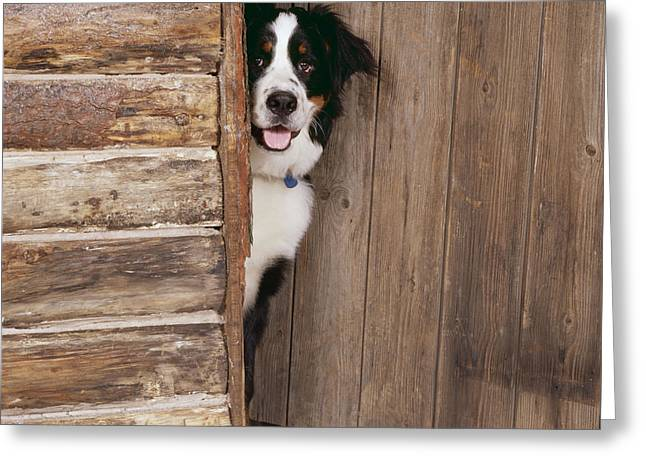 Bernese Mountain Dog At Log Cabin Door Greeting Card by John Daniels