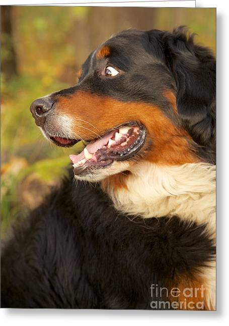 Bernese Mountain Dog Looks Back Greeting Card by Aleksey Tugolukov