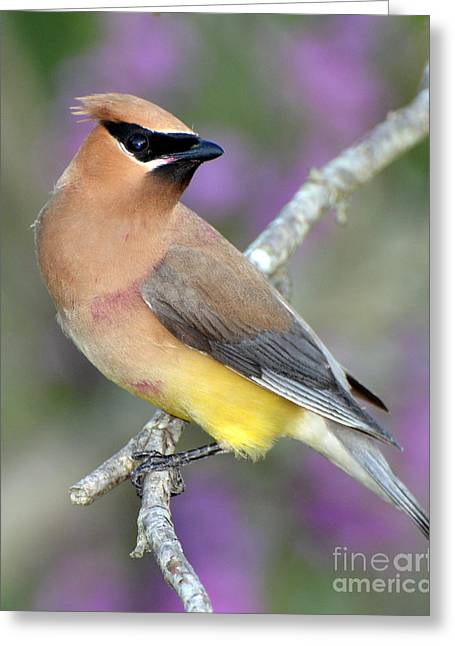 Berry Stained Waxwing Greeting Card