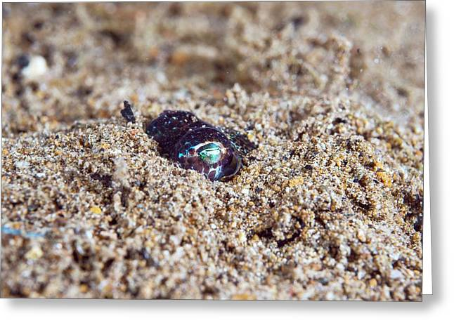 Berry's Bobtail Squid Greeting Card by Scubazoo/science Photo Library