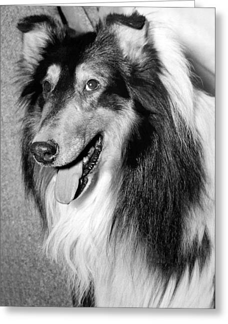 Best Of Breed Collie Greeting Card by Underwood Archives