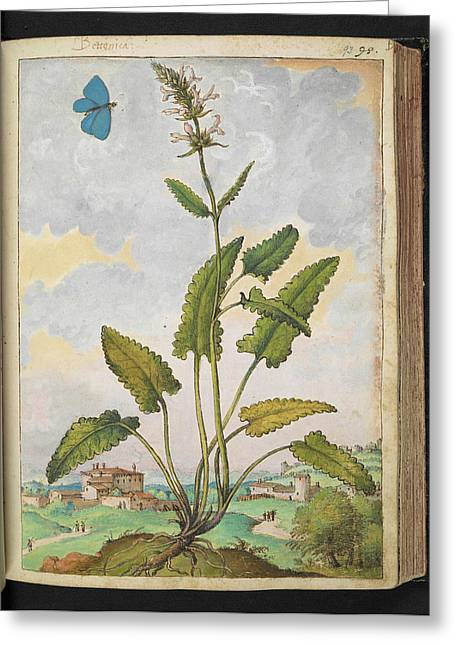 Betony (stachys Sp.) Greeting Card by British Library