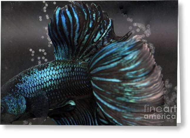 Betta Fish Close Up Greeting Card by Jennifer Gaida