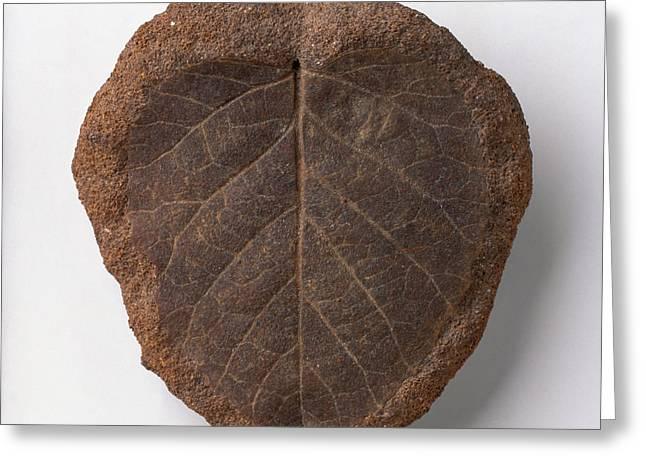 Betulite Leaf Fossilised In Ironstone Greeting Card
