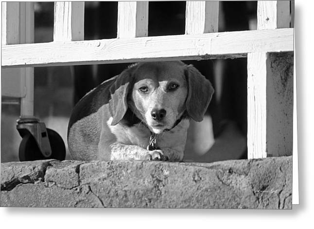 Beware - Guard Beagle On Duty In Black And White Greeting Card by Suzanne Gaff