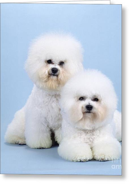 Bichon Frise Dogs Greeting Card