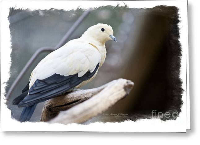 Bicolor Pigeon Greeting Card