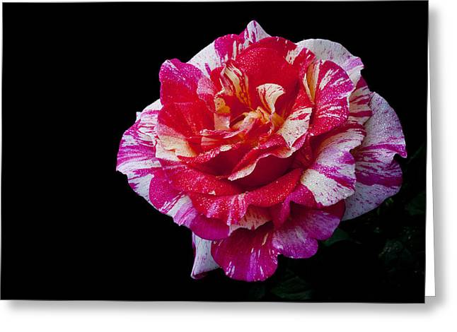 Greeting Card featuring the photograph Bicolour Beauty by Doug Norkum