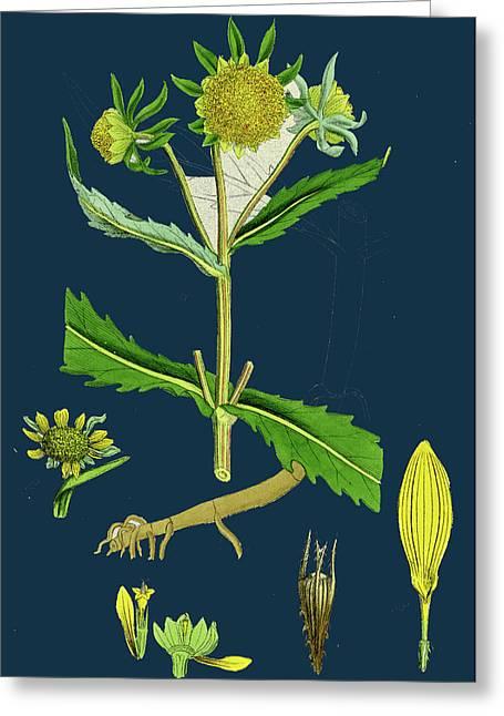 Bidens Cernus, Var. Genuina Nodding Bur-marygold Greeting Card by English School