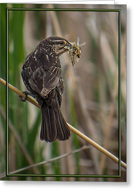 Greeting Card featuring the photograph Big Dinner For Female Red Winged Blackbird II by Patti Deters