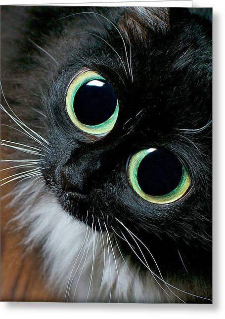 Big Eyed Cat Begging Portrait Greeting Card by Berkehaus Photography