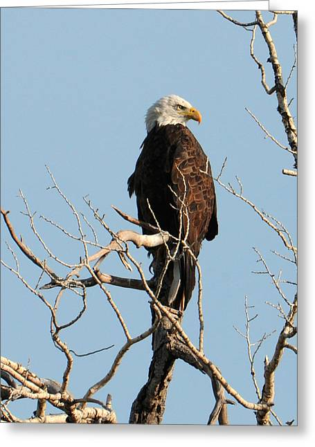 Greeting Card featuring the photograph Big Horn Bald Eagle by David Armstrong