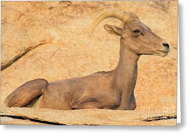 Big Horn Blending In Greeting Card by Adam Jewell