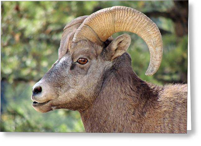 Greeting Card featuring the photograph Big Horn by Lynn Sprowl