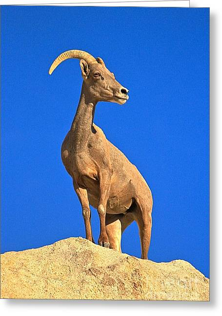 Big Horn Pose Greeting Card by Adam Jewell