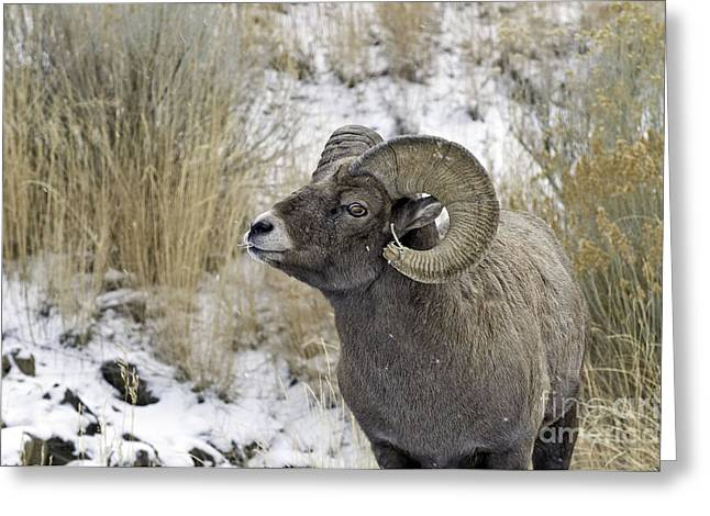 Big Horn Ram Greeting Card by Bob Dowling