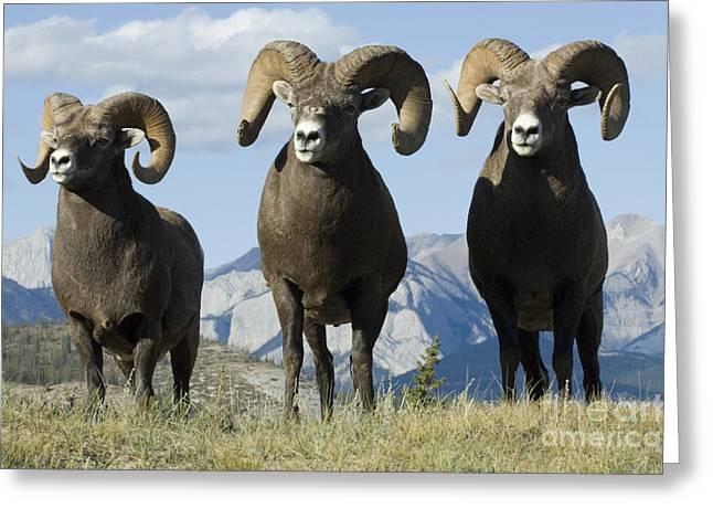 Big Horn Sheep Greeting Card by Bob Christopher