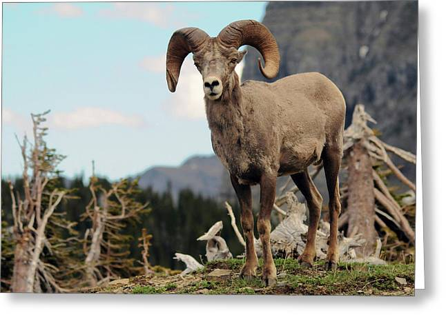 Big Horn Sheep, Glacier National Park Greeting Card by Michel Hersen