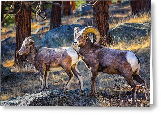 Big Horn Sheep Greeting Card by Juli Ellen