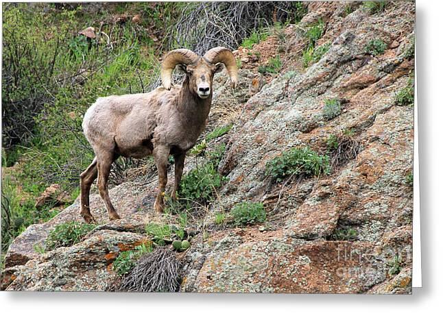 Bighorn Sheep Greeting Card by Kathy Eastmond