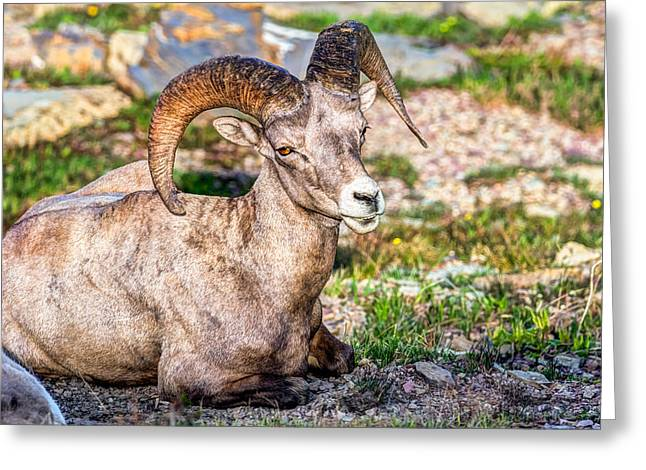 Big Horn Sheep Portrait Greeting Card