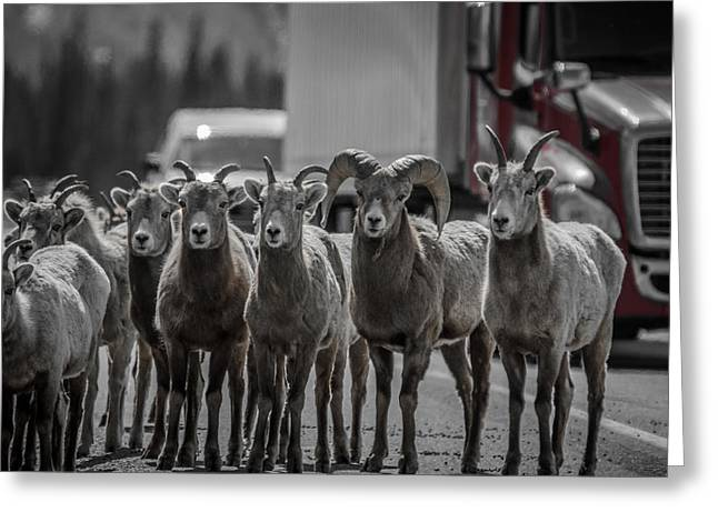 Big Horn Sheep Road Block Greeting Card