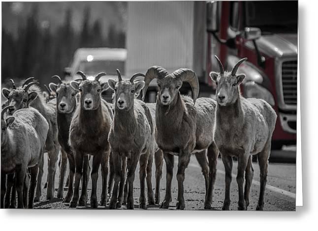 Big Horn Sheep Road Block Greeting Card