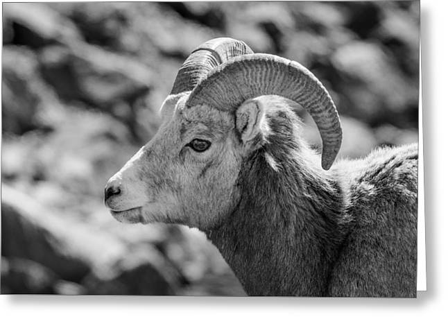 Big Horn Sheep Profile Greeting Card