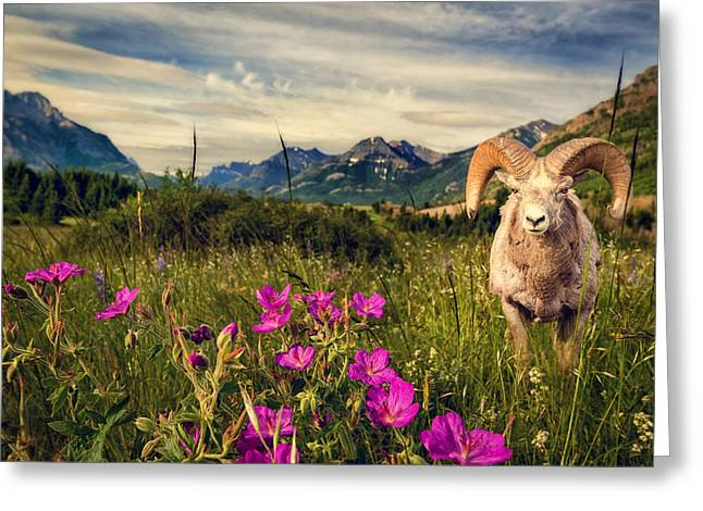Big Horn Sheep Greeting Card by Tracy Munson