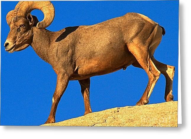 Big Horn Strut Greeting Card by Adam Jewell