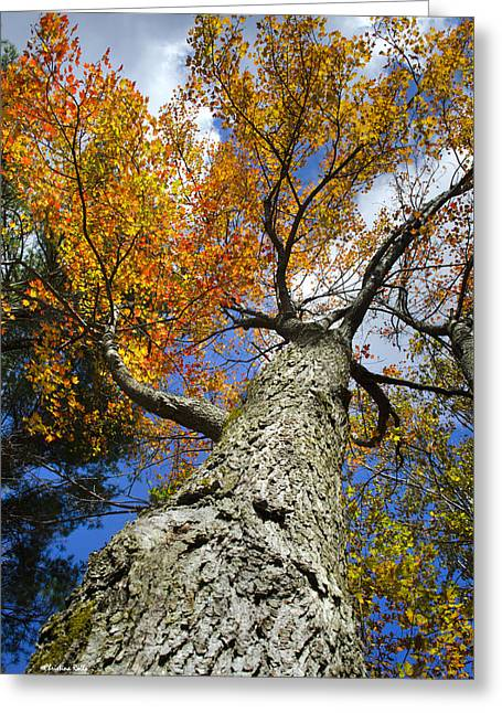 Big Orange Maple Tree Greeting Card by Christina Rollo