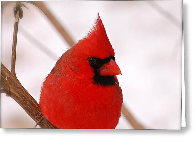 Big Red  Cardinal Bird In Snow Greeting Card
