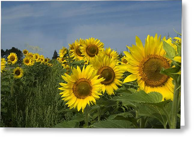 Big Yellow Sunflowers In A Michigan Field Greeting Card by Diane Lent