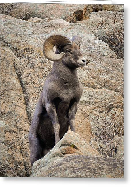 Greeting Card featuring the photograph Bighorn Big Boy by Kevin Munro