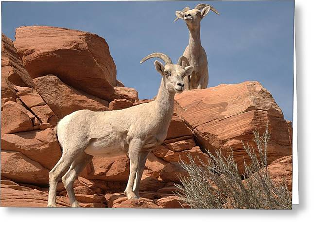 Bighorn Ewes Greeting Card by Jeff Cook