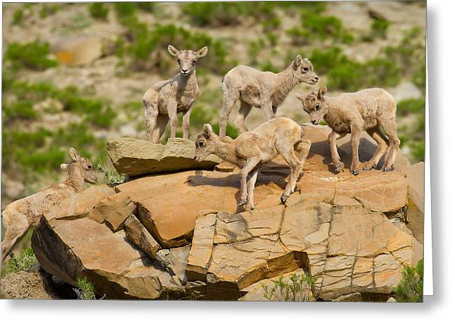 Greeting Card featuring the photograph Bighorn Playground by Aaron Whittemore