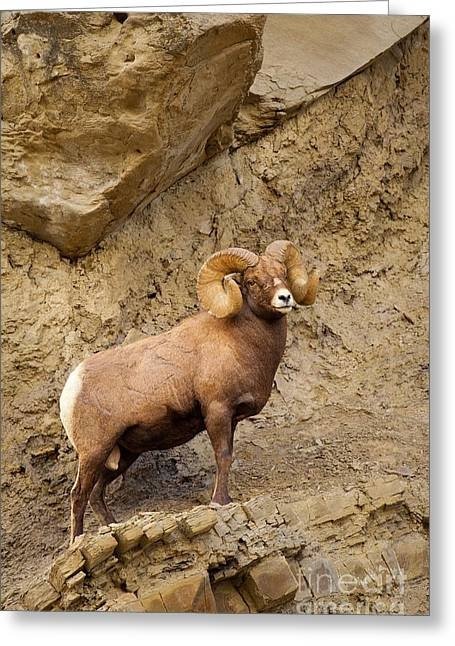 Greeting Card featuring the photograph Bighorn  by Aaron Whittemore