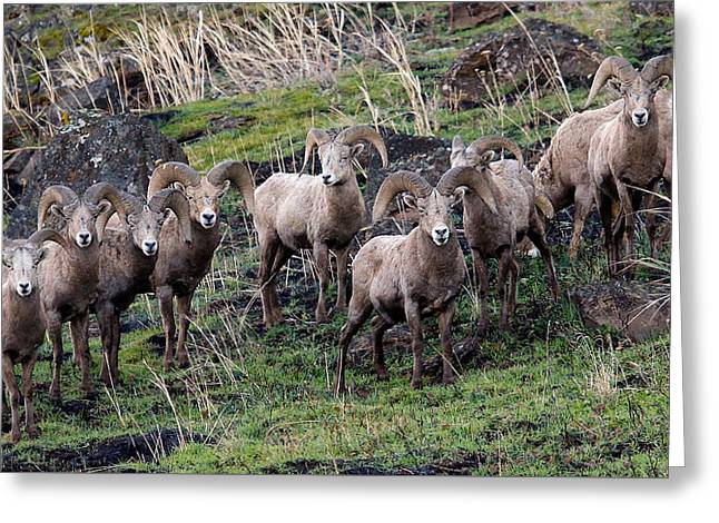 Bighorn Reunion Greeting Card by Steve McKinzie