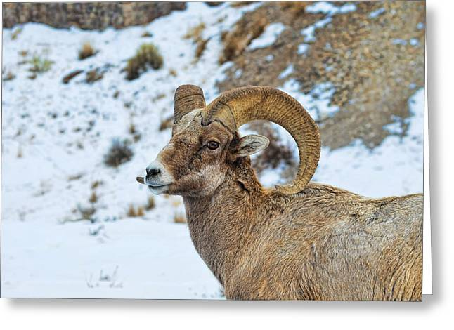 Greeting Card featuring the photograph Bighorn Sheep by David Armstrong
