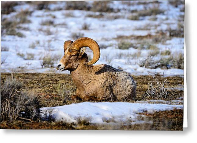 Bighorn Sheep Greeting Card by Greg Norrell