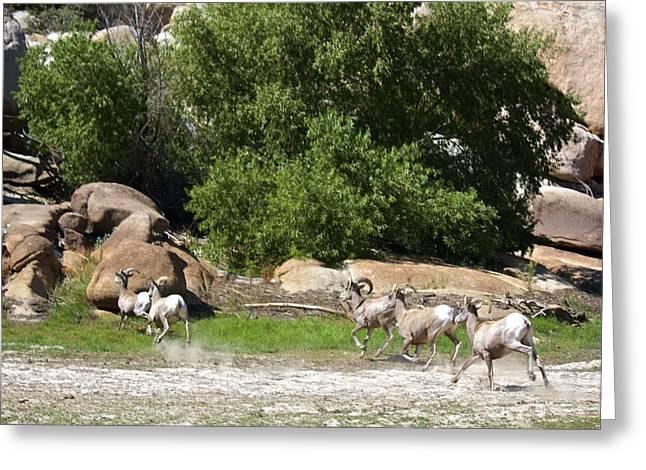Bighorn Sheep In A Run Greeting Card by Renee Sinatra