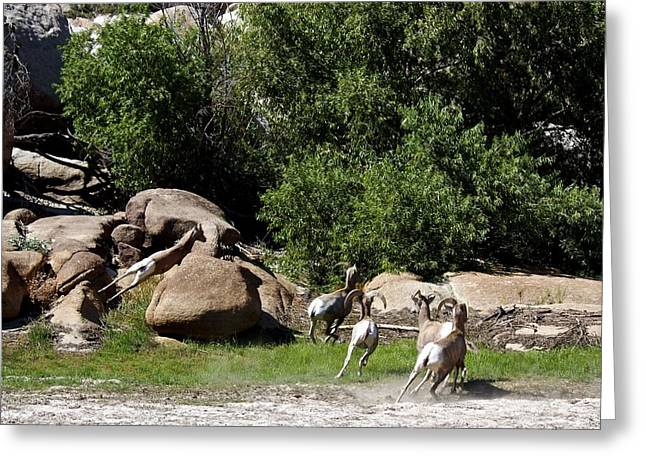 Bighorn Sheep Moving Greeting Card by Renee Sinatra