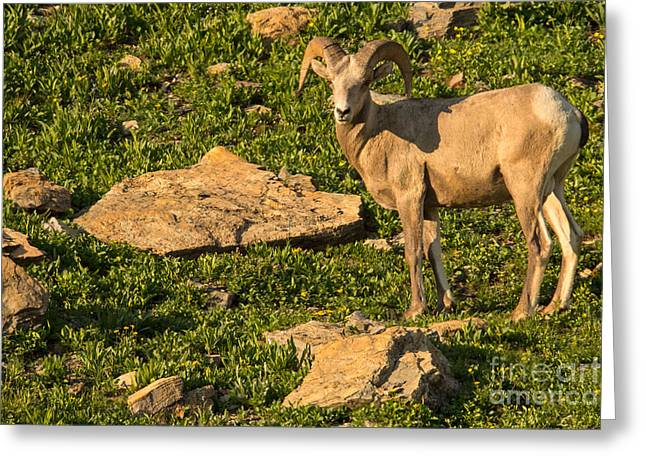 Bighorn Sheep Ram In Glacier 2 Greeting Card by Natural Focal Point Photography