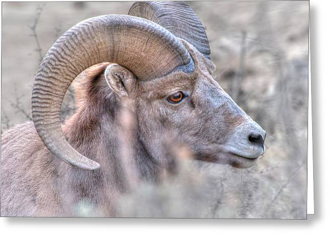 Bighorn Soft Greeting Card by Britt Runyon