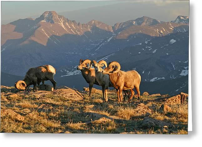 Bighorn Under Longs Peak Greeting Card by Robert Yone