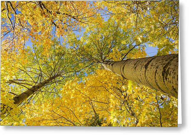 Bigtooth Canopy Greeting Card