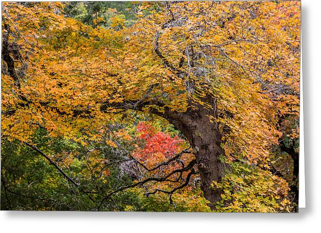 Bigtooth Maples Turning Colors Greeting Card