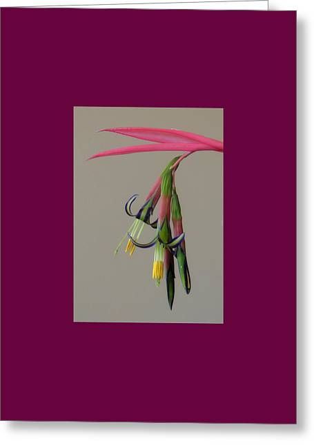 Bilbergia Nutans Study Greeting Card
