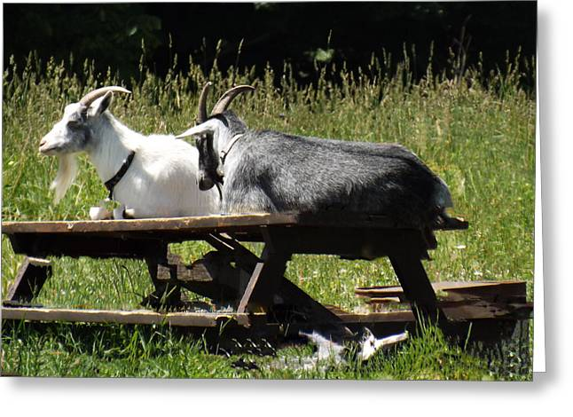 Billy Goats Picnic Greeting Card